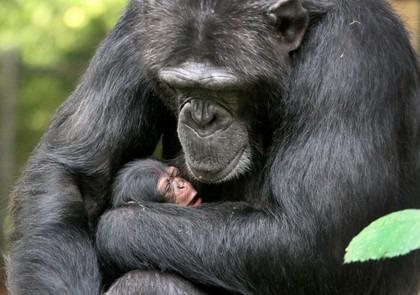 Artis chimpansee