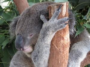 Sleeping coala